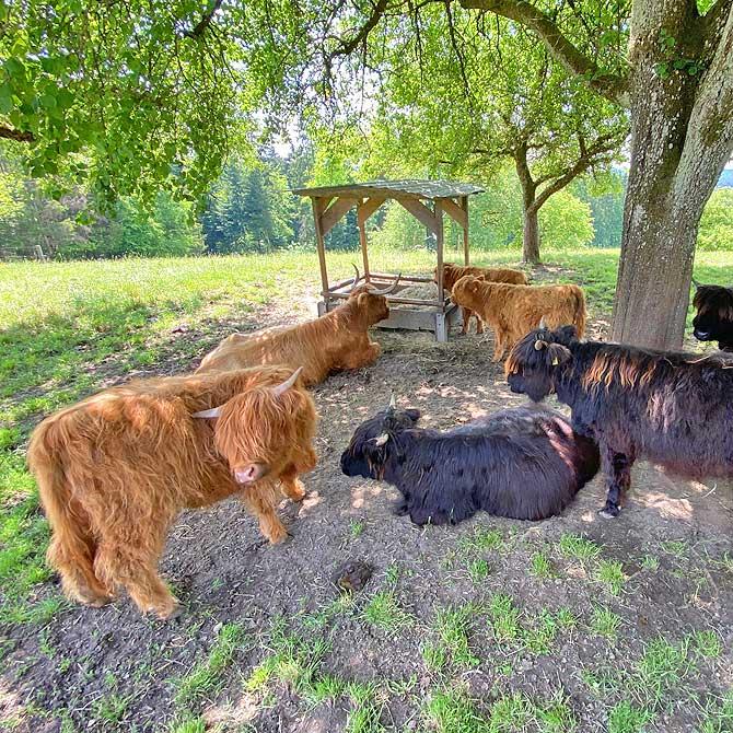 Highland Cattle Rind