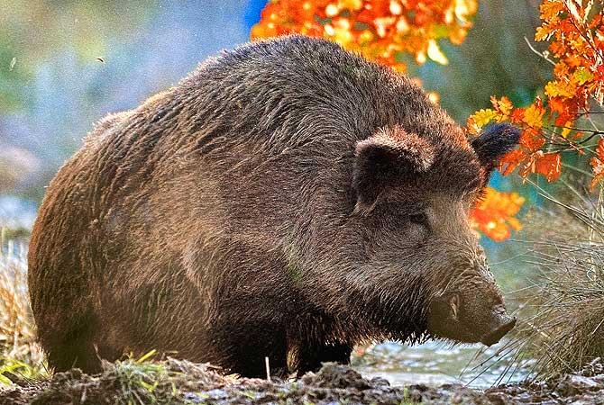 Wildschwein bei Calw